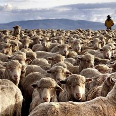 Sheep farming investment