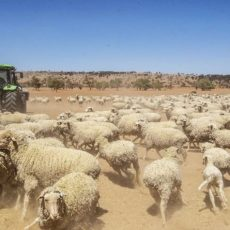 Sheep prices have surged – Farmland Investment